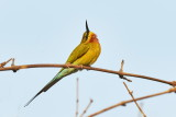 Blue-tailed Bee-eater / Blåhalet Biæder, 1X8A3400,29-01-19.jpg