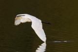 Great Egret / Sølvhejre