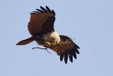 Brahminy Kite / Brahminglente,