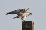 Black-shouldered Kite / Blå Glente
