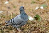 Common Pigeon / Klippedue