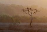 Black Kite / Sort Glente, 1X8A5880,08-02-19.jpg