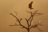 Black Kite / Sort Glente, 1X8A5894,08-02-19.jpg