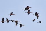 Glossy Ibis / Sort Ibis
