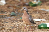 Spotted Dove / Perlehalsdue