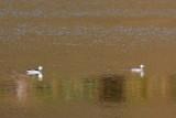 Cotton Pygmy Goose / Indisk Dværgand