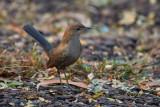 Indian Robin / Hvidvinget Sortstjert,
