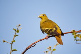 Yellow-footed Green Pigeon / Gyldenhalset Papegøjedue,