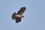 Short-toed Snake Eagle Slangeørn