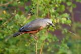 Chestnut-tailed Starling / Gråhovedet Stær