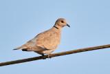 Eurasian Collared Dove / Tyrkerdue