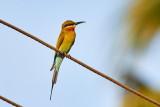 Blue-tailed Bee-eater / Blåhalet Biæder