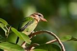 White-cheeked Barbet / Sydindisk Skægfugl
