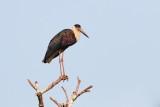 Woolly-necked stork / Uldhalsestork