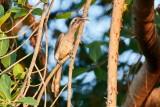 Indian Grey Hornbill Indisk Gråtoko