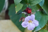 Crimson Sunbird /Karminsolfugl