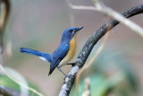 Tickell´s Blue Flycatcher / Hvidflanket Niltava