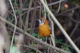 Orange-headed Thrush / Orangedrossel