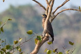 Crested Serpent Eagle / Toppet Slangeørn