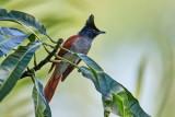 Asian Paradise Flycatcher / Asiatisk Paradismonark