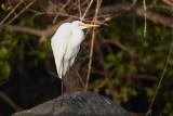 Intermediate / Egret