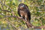 Black Kite / Sort Glente, 1X8A4738, 15-01-20.jpg