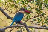 Stork-billed Kingfisher / Blåvinget Storkenæbsisfugl