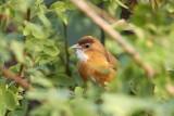 Tawny-bellied Babbler / Rustbuget Timalie