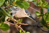 Striated Heron / Mangrovehejre