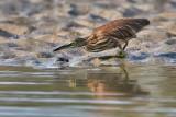 Indian Pond Heron / Rishejre
