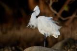 Little Egret / Silkehejre
