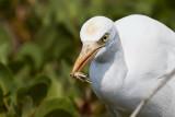 Cattle Egret / Kohejre