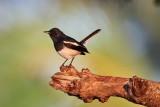 Oriental Magpie-Robin / Dayal