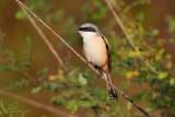 Long-tailed Shrike / Langhalet Tornskade
