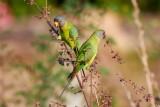 Plum-headed Parakeet / Blommehovedet Ædelparakit