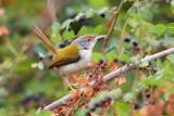 Common Tailorbird Indisk / Skrædderfugl