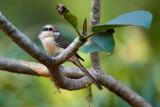 Brown Shrike / Brun Tornskade
