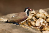 Red-wattled Lapwing / Indisk Vibe