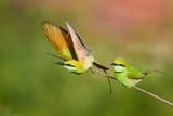 Green Bee-eater / Lille Grøn Biæder