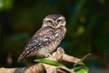 Spotted Owl / Plettet Natugle