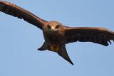 Black Kite / Sort Glente