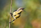 Purple Sunbird / Purpursolfugl