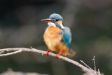Common Kingfisher / Isfugl