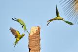 Rose-ringed Parakeet / Alexanderparakit