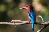 White-throated Kingfisher / Smyrnaisfugl