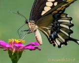 Butterflies of Texas