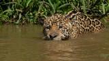 Giaguaro a caccia della preda