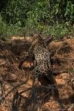 Giaguaro con Caimano