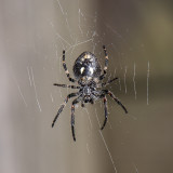 Spinnen - Spiders - Araignées ook: mijten en teken