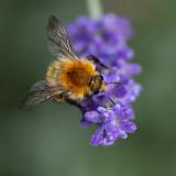GALLERY hommels - bombus - bumblebees - bourdons